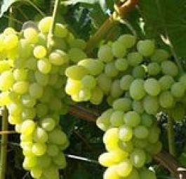 купить саженцы винограда в Крыму